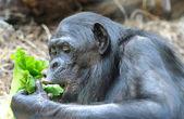 Chimpanzé come verdura — Foto Stock