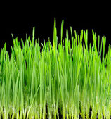 Young juicy green sprouts of the wheat on black background — Stock Photo
