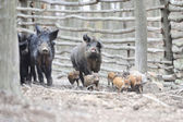 Wild boars — Stock Photo