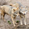 Timber Wolf (Canis lupus) — Stock Photo