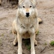 Timber Wolf (Canis lupus) — Stock Photo #10368037