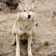 Timber Wolf (Canis lupus) — Stock Photo #10368039