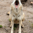 Timber Wolf (Canis lupus) — Stock Photo #10368063