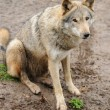 Timber Wolf (Canis lupus) — Stock Photo #10368076