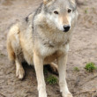 Timber Wolf (Canis lupus) — Stock Photo #10368083