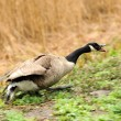 Canada geese (branta Canadensis) in a meadow — Stock Photo