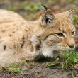 Young lynx — Stock Photo