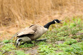 Canada geese (branta Canadensis) in a meadow — Photo