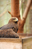 Young Eagle — Stock Photo