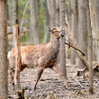 Roe deer — Stockfoto #10477364