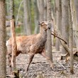 Roe deer — Stock Photo #10477364