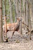 Roe deer — Стоковое фото