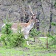 Roe deer — Stock Photo #10484104