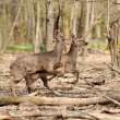 Roe deer — Stock Photo #10484193