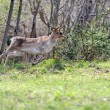 Roe deer — Stock Photo #10484281