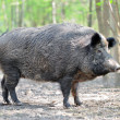 Wild boar — Stock Photo #10542484
