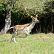 Roe deer — Stockfoto #10542574