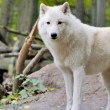 Stock Photo: White wolf