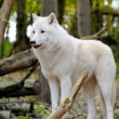 White wolf — Stock Photo