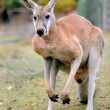 Kangaroo — Stock Photo #7966828