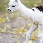 Young white alpaca — Stock Photo