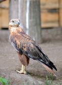 Harrier — Stock Photo