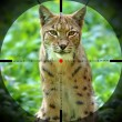 Stock Photo: Lynx portrait