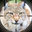Portrait lynx — Stock Photo