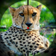 Gepard — Stock Photo