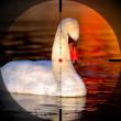 Beautiful swan — Stock Photo
