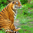 Beautiful tiger - Stock Photo