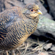 Francolin — Stock Photo