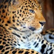 Leopard — Stock Photo #8688884