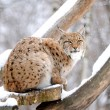 Lynx in winter — Stock Photo #8768969