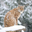 Lynx in winter — Stock Photo #8768987