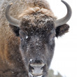 Bison in winter — Stock Photo #8769013