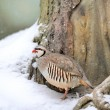 Partridge in winter — Stock Photo