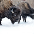 Bison in winter — Stock Photo #8769090