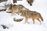 Wolf — Stockfoto
