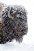 Bison portrait in winter — Stock Photo
