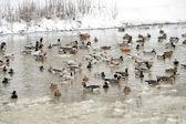 Ducks in the like — Stock Photo