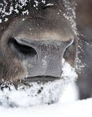 Bison face in winter — Stock Photo