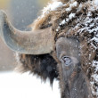Bison in winter — Stock Photo #8773652