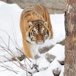 Tiger — Stock Photo #8773661