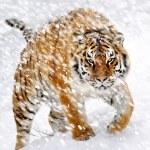 Tiger — Stock Photo #8901428