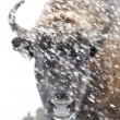 Bison in winter - Stock Photo