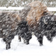 Stock Photo: Bison in winter