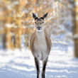 Deer in winter forest — Stock Photo #8905232