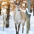 Deer in winter forest — Stock Photo #8905237