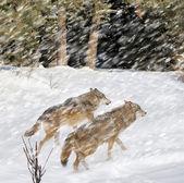 Wolf — Stock Photo
